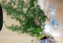 "Photo of ""Poljoprivrednik"" iz Gale uhvaćen s četiri stabljike marihuane"